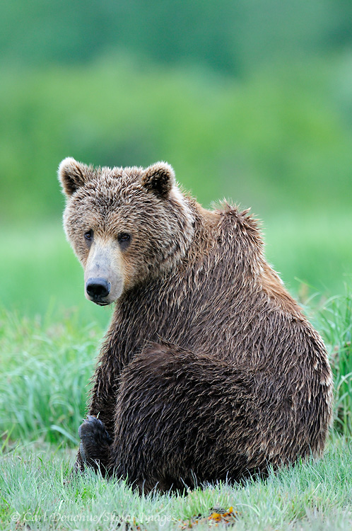 A brown bear (Ursus arctos) sits in long green sedge grass. The low tide provides great habitat for coastal brown bears in spring and summer, in places like Kukak Bay, Katmai National Park, Alaska.