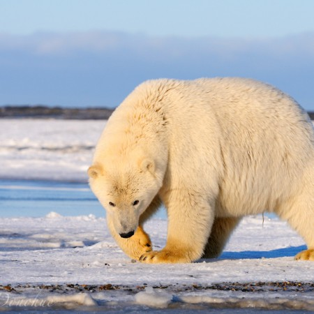 A curious polar bear approaches, Beaufort Sea, Alaska