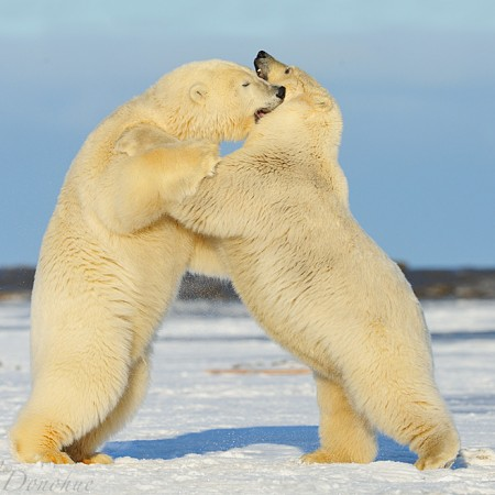 Polar bears playing on snow near the Arctic Ocean, Arctic National Wildlife Refuge, Alaska. Polar bears (Ursus maritimus), Alaska.