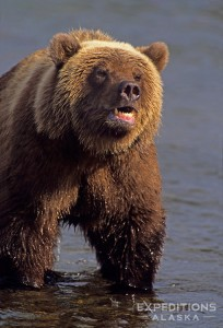 Grizzly bear, Brooks River, Katmai NP, Alaska.