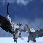 Juvenile bald eagle attacks an adult.