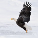 "A bald eagle at ""take off""."