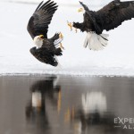2 bald eagles squabble over rotten dead salmon.