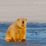 Cute young polar bear yawning, sitting on ice.