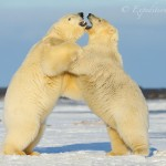 2 polar bears wrestle.