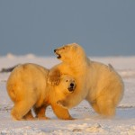 2 young polar bears playfighting.