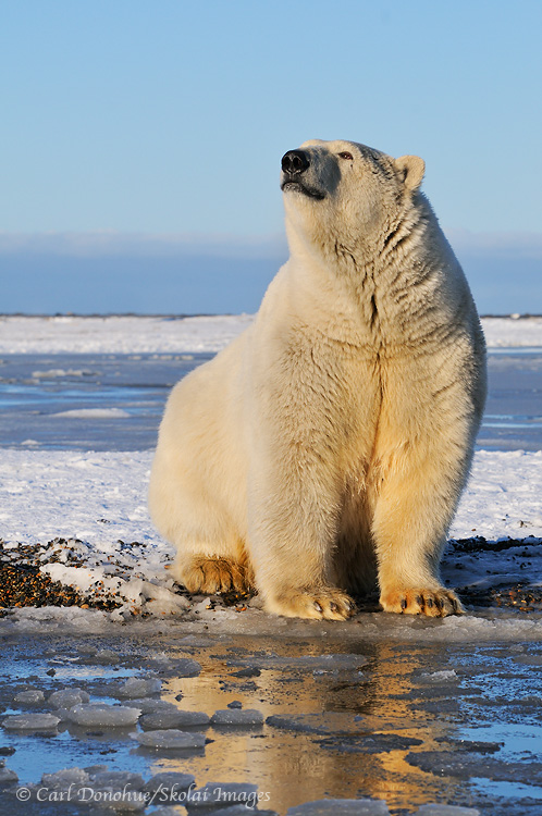 An adult polar bear sits on the shores of the Beaufort Sea, waiting for freezeup. Alaska.