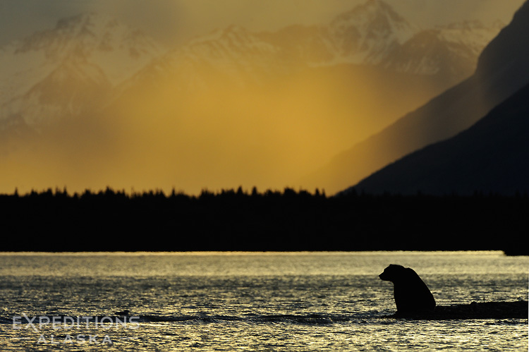 Grizzly bear at sunset.