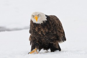 An adult bald eagle walking through soft fresh snow. Chilkat River, Haines, Alaska. 