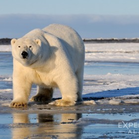 A large adult male polar bear (Ursus maritimus) gets curious about the photographers taking photos. Adult male polar bears can easily reach weights in excess of 1200lbs.