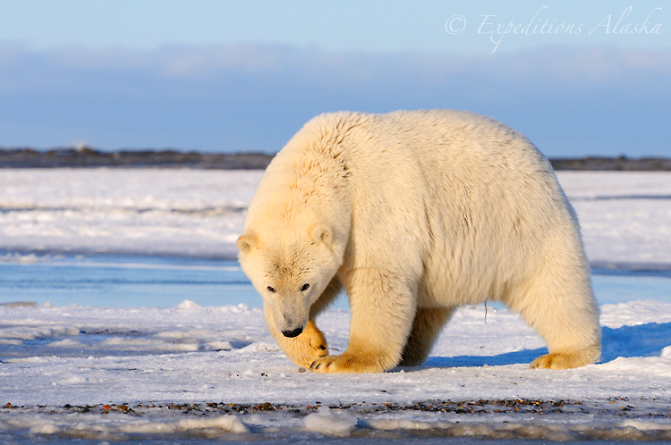 Polar bear bear walking across the frozen ground