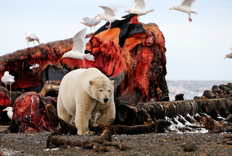 Polar bear feeding on whale carcass