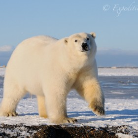 A beautiful male polar bear raises his paw as if to wave at the camera, in Arctic Alaska.
