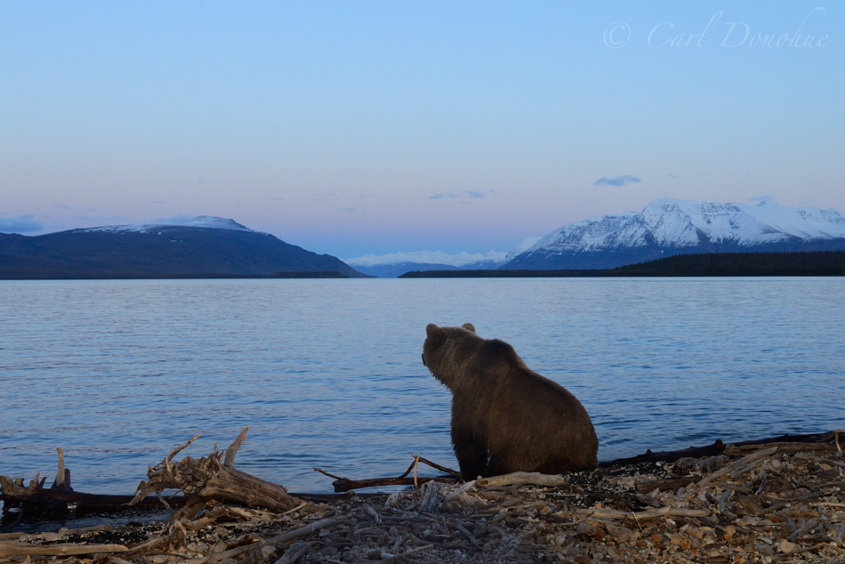 A brown bear sits and stares across Naknek Lake, sunset, and Mt. Katolinat, (Ursus arctos) Katmai National Park and Preserve, Alaska.