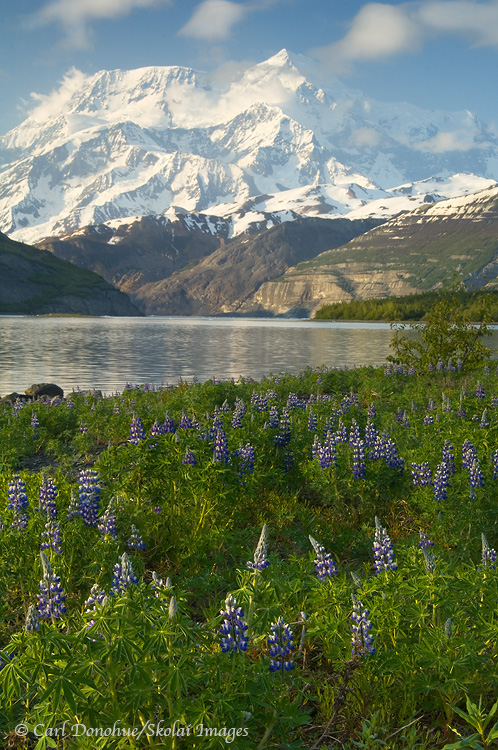 A dense field of wildflowers and Mt. St. Elias.