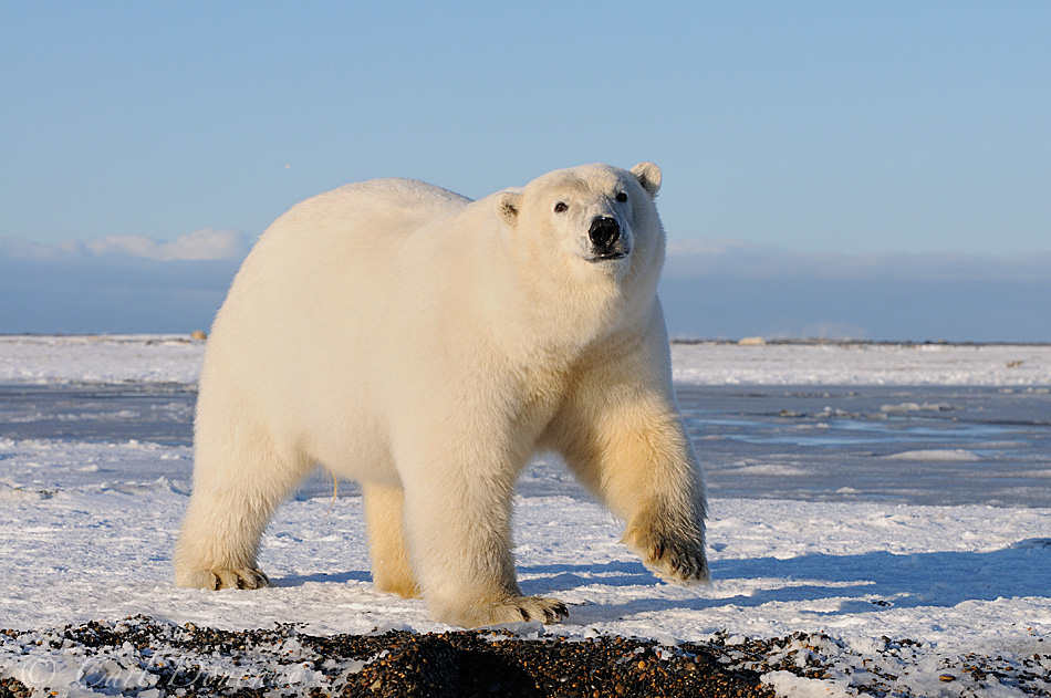 Polar Bear Picture. Male adult polar bear picture, ANWR Alaska polar bears.