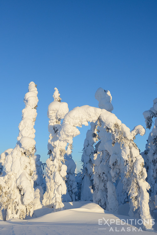 Winter snow load bends the small spruce trees of the boreal forest in arctic Alaska, along the Dalton Highway.