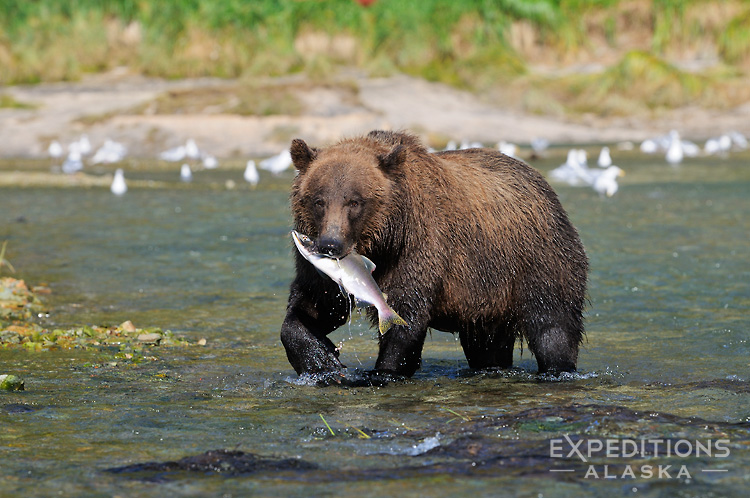 An adult coastal brown bear in Kinak Bay after catching a fresh Silver Salmon in a small creek. Katmai National Park and Preserve, in Alaska.
