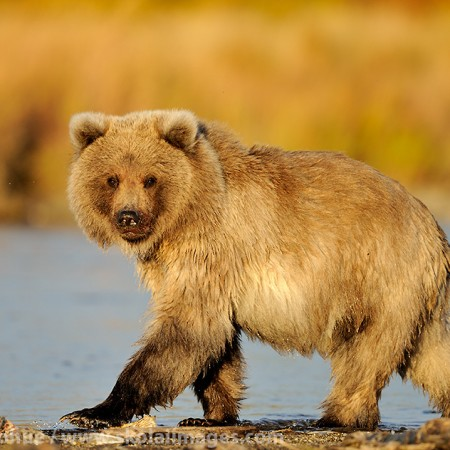 A first year brown bear, or grizzly bear, cub, walking along a salmon stream, (Ursus arctos) Katmai National Park and Preserve, Alaska.