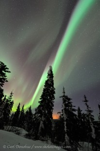 Aurora borealis display over Spruce trees, Alaska.