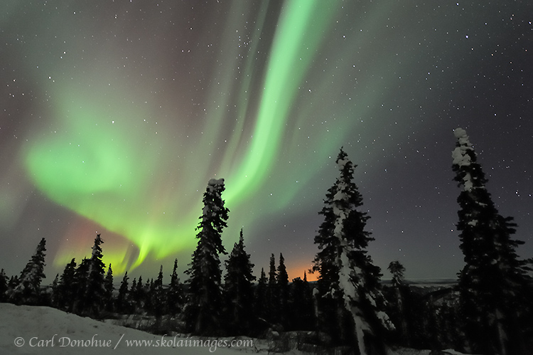 Active northern lights over spruce trees