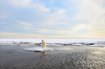 Polar Bear on sea ice, Arctic National Wildlife Refuge, Alaska