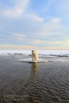 Polar bear on thin ice, Beaufort Sea, Arctic National Wildlife Refuge, Alaska.