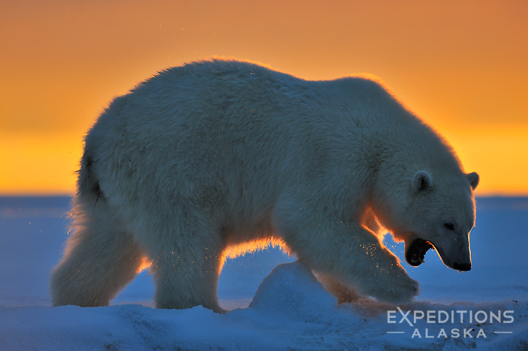 A young polar bear on the prowl, silhouetted at sunrise, on the frozen ground of the Arctic National Wildlife Refuge (ANWR), Alaska. Polar bear, Ursus maritimus, Alaska.
