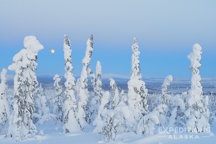 Winter snows cover white and black spruce trees of the boreal forest in arctic Alaska, near the Yukon river, off the Dalton highway.