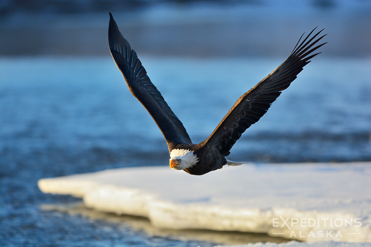 A mature or adult bald eagle, in flight, flying towards the camera, over the Chilkat River, near Haines, Alaska. Bald eagle photo, Haliaeetus leucocephalus photo.