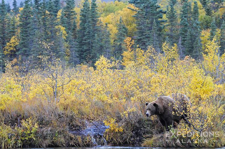 Adult male brown bear boar in fall color, (Ursus arctos) Katmai National Park and Preserve, Alaska.