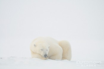 A polar bear sleeping on the snow covered ground of Alaska's Arctic National Wildlife Refuge. Polar Bear, Ursus maritimus, ANWR, Alaska.