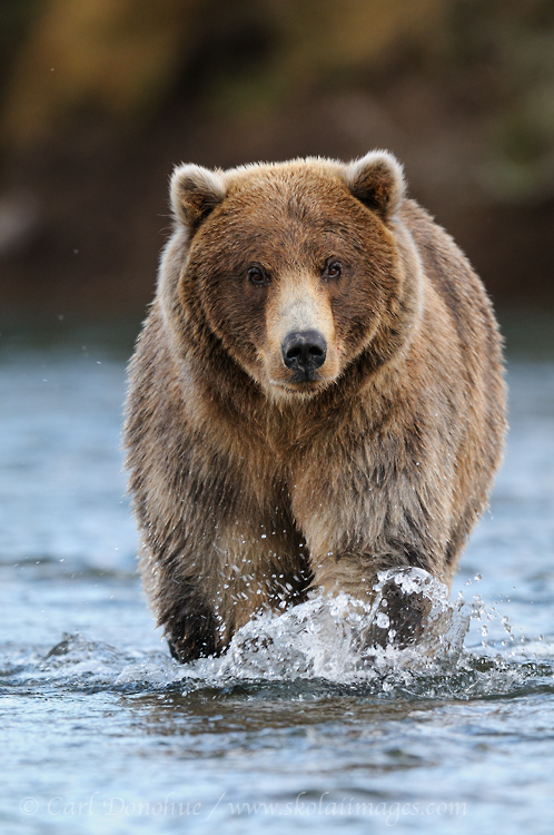 A young male brown bear walks up a salmon stream fishing for Sockeye salmon in Katmai National Park and Preserve, Alaska.