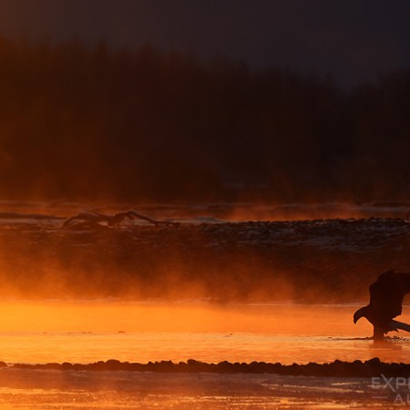 A bald eagle silhouetted against of glowing in the morning sunrise.