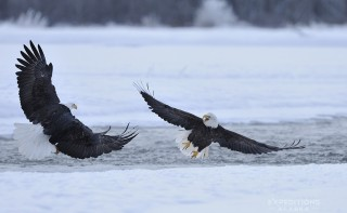 Two bald eagles fighting