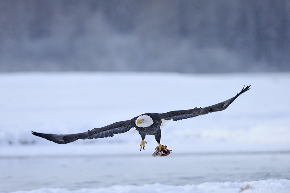 Adult bald eagle flying with salmon.