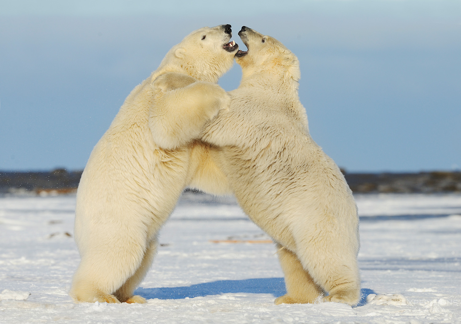 Polar bears (Ursus maritimus), playfighting, standing and wrestling on fresh snow in Arctic Alaska.