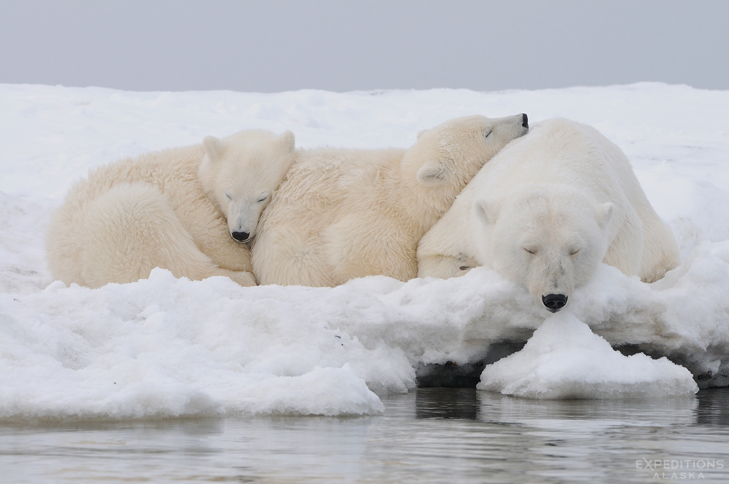 Polar bear cubs sleeping with their mother.