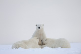 A large adult female polar bear nurses her 2 cubs. Cubs will stay with their mother for 2-3 years, and nurse on and off during that time. Polar Bear, Ursus maritimus, Arctic National Wildlife Refuge, ANWR, Alaska.