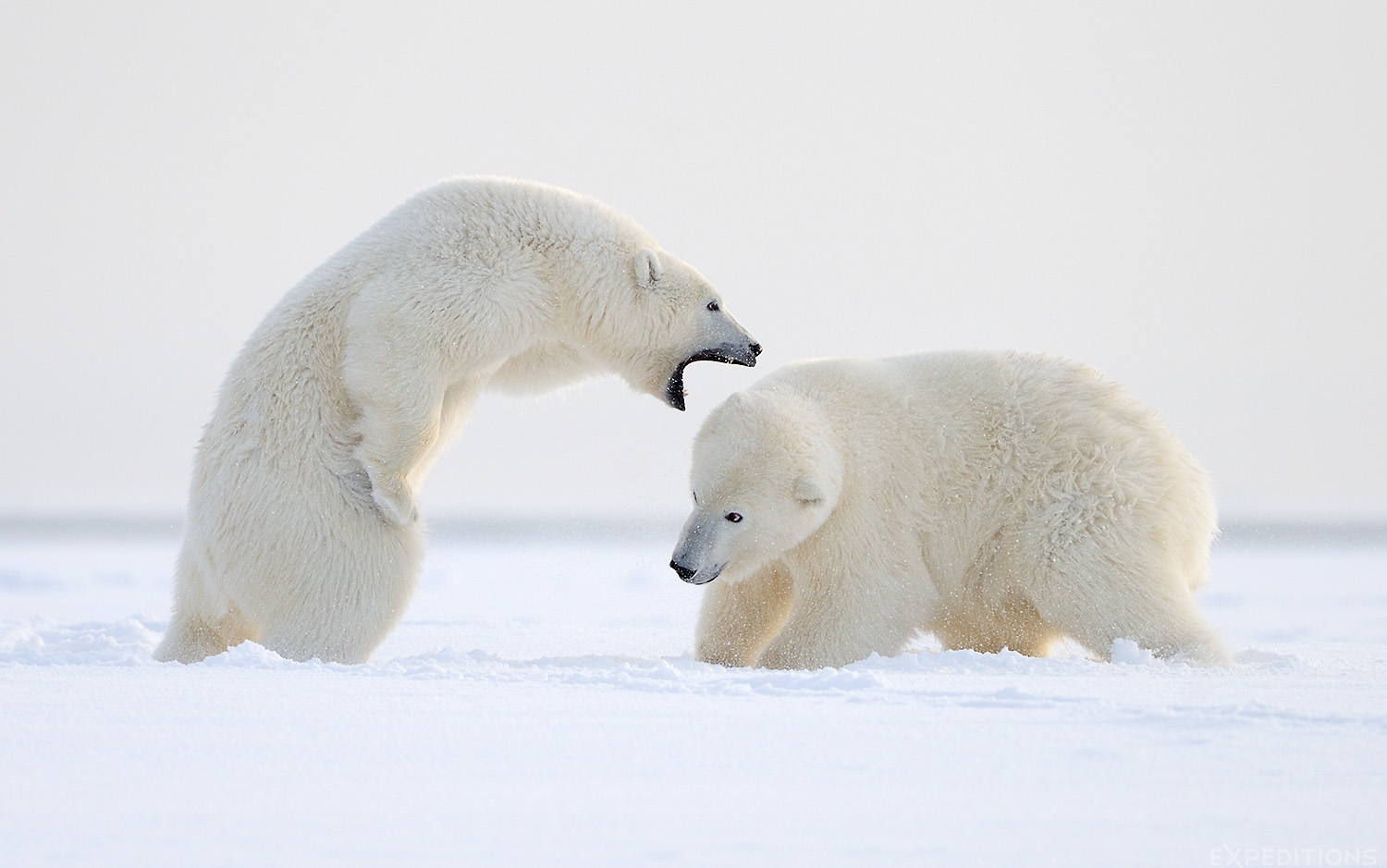 2 polar bears hard at work, or play. Twins, these 2 year old polar bear cubs played hard on the early snow in fall, in the Arctic National Wildlife Refuge, or ANWR, Alaska. Polar bears, Ursus maritimus, ANWR, Alaska.