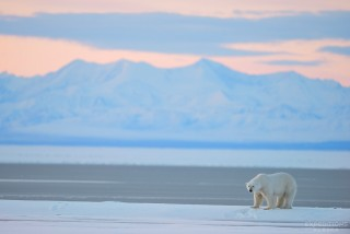 A Polar Bear and the Brooks range in the background, Arctic National Wildlife Refuge, ANWR, Alaska.