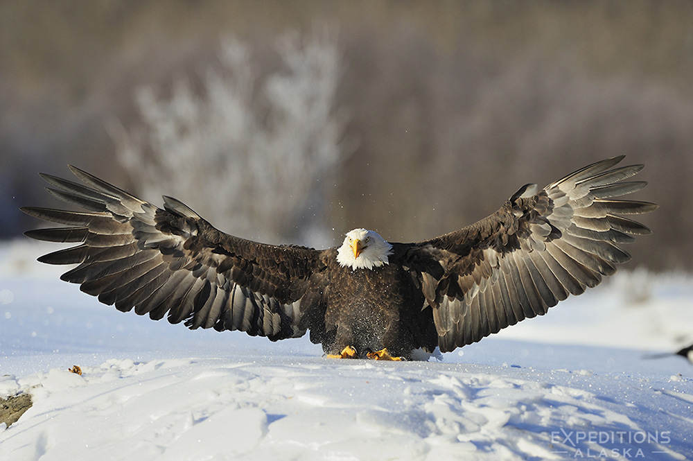 Bald eagle landing on snow.