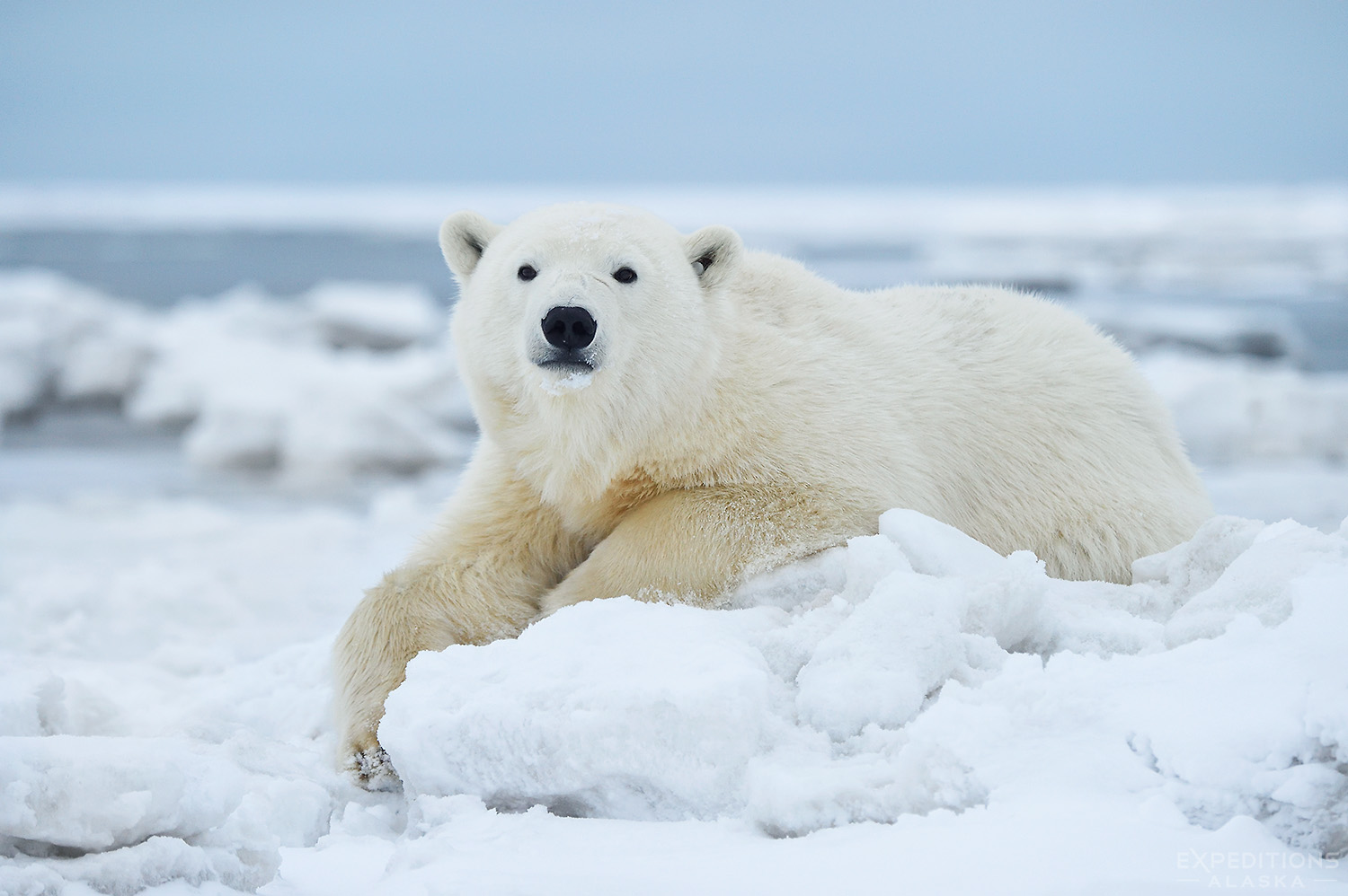 A young polar bear resting