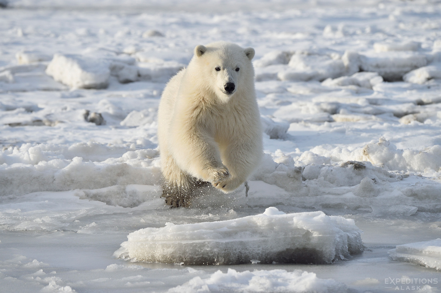 Polar Bear Cub Jumping to an Ice Floe