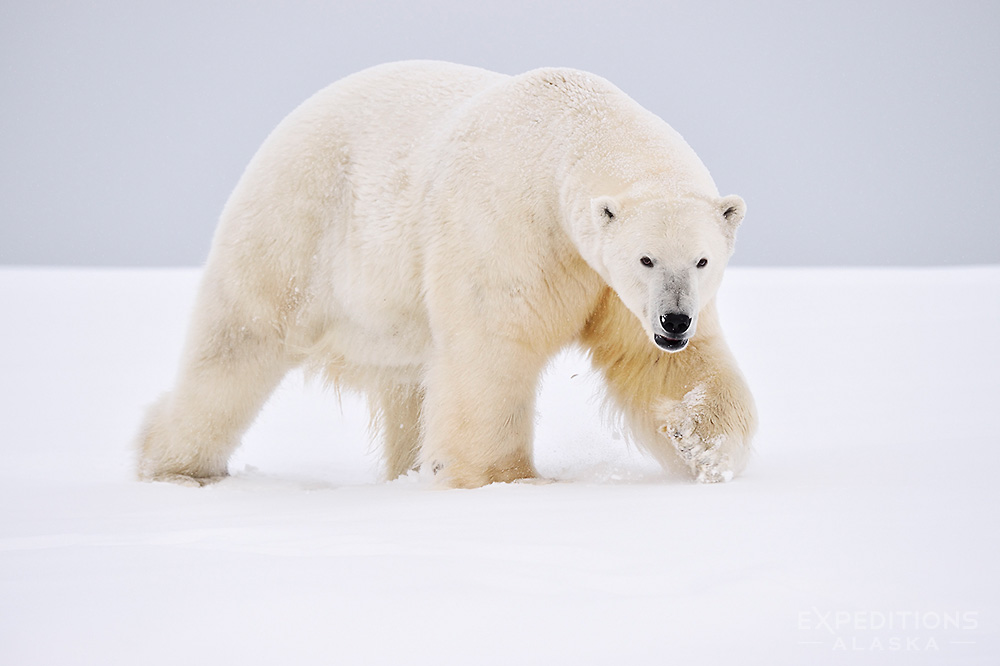 polar bear Polar bears are the largest land carnivores in the world, rivaled only by the kodiak brown bears of southwestern alaska polar bears sit at the top of the food chain in the biologically rich arctic.