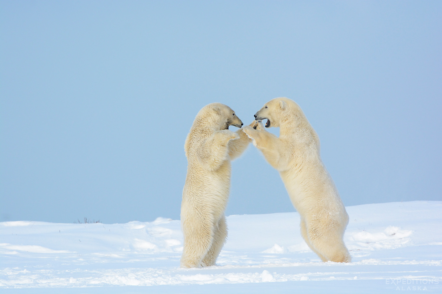 Male Polar Bears Sparring