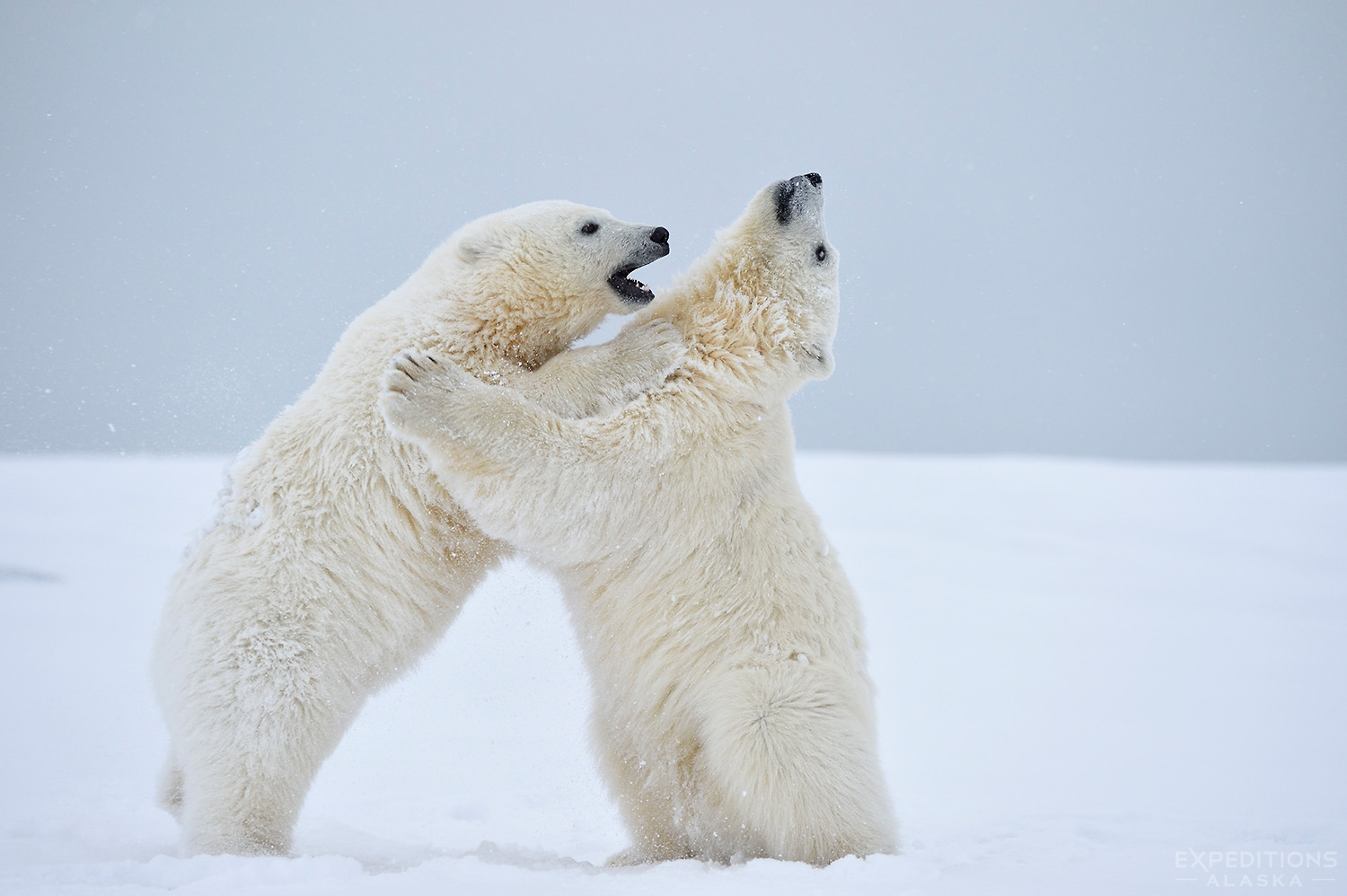 Polar Bear Cubs Sparring.