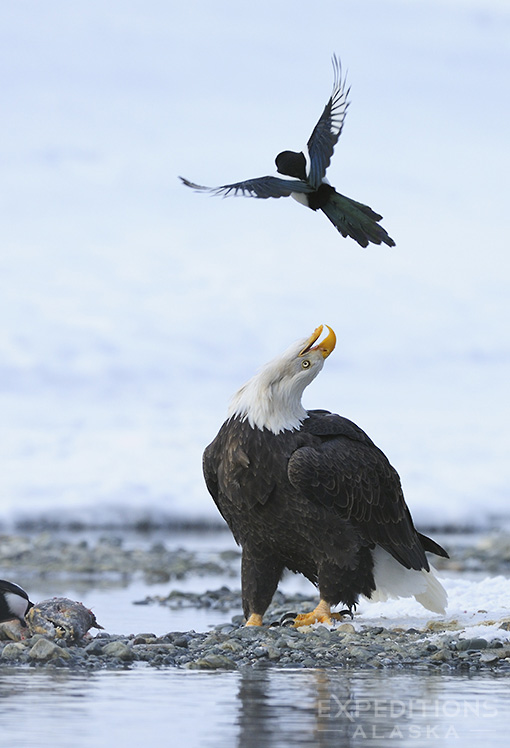 A bald eagle and a black-billed magpie, Haines, Alaska