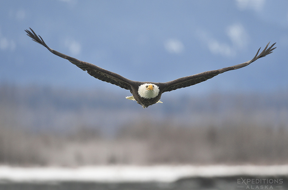 An adult bald eagle flying