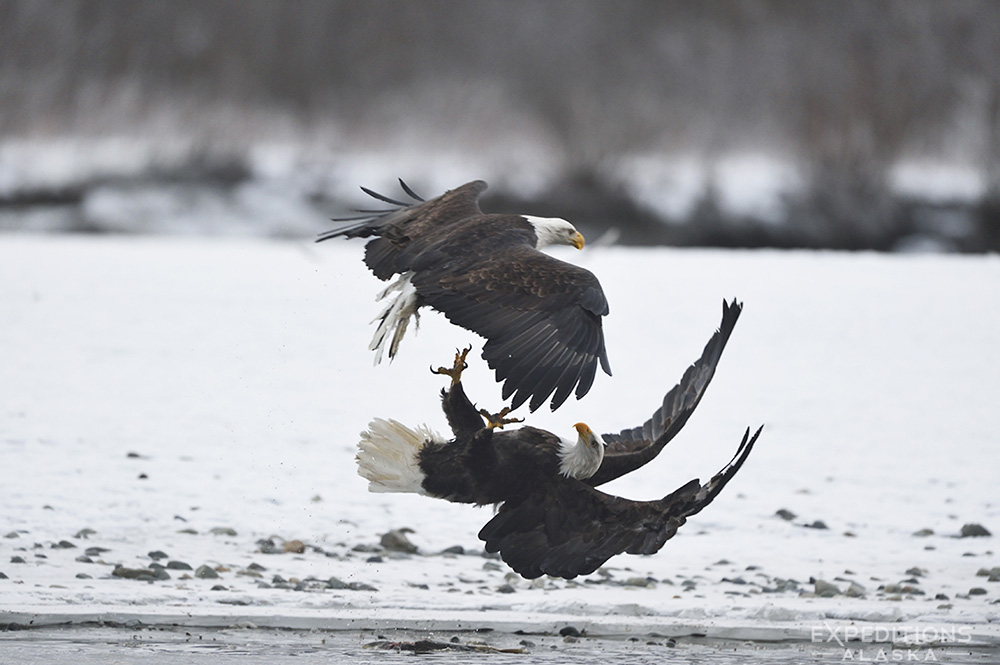 Two bald eagles fighting over a salmon, Chilkat River, AK